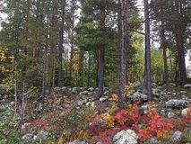 Autumn forest in Lulea, Sweden royalty free stock photo