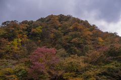 Autumn forest with many trees in the mountain.  royalty free stock photography