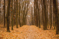 Autumn forest. With many yellow leaves on the floor Stock Images