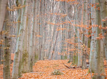 Autumn forest. With many yellow leaves on the floor Royalty Free Stock Images