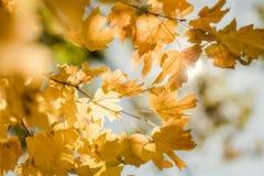 Autumn forest maple leaves sun light background. Autumn forest. Closeup of yellow maple leaves on defocused sky and sun light background stock images