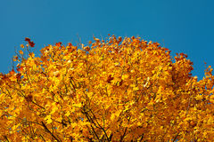 Autumn forest maple Stock Image