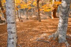 Autumn forest. At Mata da Albergaria, Geres National Park, Portugal stock photos