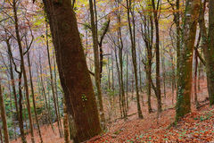 Autumn. Forest at Mata da Albergaria, Geres National Park, Portugal stock photography