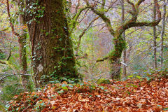 Autumn forest. At Mata da Albergaria, Geres National Park, Portugal royalty free stock photos