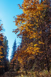Autumn forest, meadow, yellow leaves. Bright yellow maple leaves against the blue sky, a bright contrast colors of autumn. autumn forest, meadow Royalty Free Stock Images