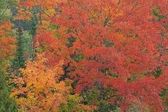 Autumn Forest med lönnar Fotografering för Bildbyråer