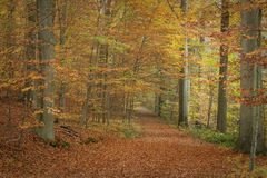 Autumn Forest. Autumn in Meerdaal forest, Belgium royalty free stock photos