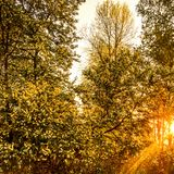 Autumn Forest met Zonsondergangzonnestralen Gouden Autumn Beautiful tre Royalty-vrije Stock Afbeeldingen