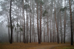 Autumn forest in the morning . Royalty Free Stock Images