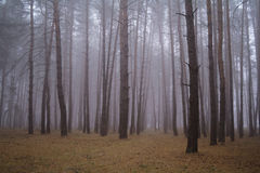 Autumn forest in the morning mist Stock Image