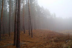 Autumn forest in the morning mist Stock Photos