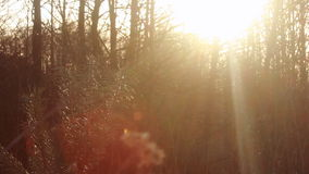 Autumn forest in morning. Sun rays shine through branches of trees. Closeup. Dry branch and pine tree in morning light at forest. Sunlight rays shine through stock footage