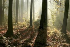 Autumn forest with morning sunbeams Stock Images