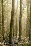 Autumn forest with morning sunbeams Royalty Free Stock Photo