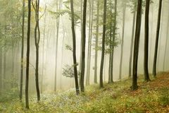Autumn forest with morning sunbeams Stock Photography