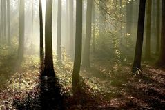 Autumn forest with morning sunbeams stock image
