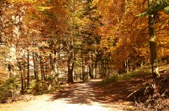 Autumn forest in mountain Royalty Free Stock Image