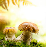 Autumn forest mushrooms Stock Images