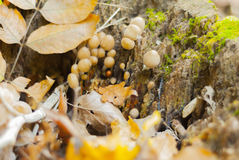 Autumn forest mushrooms. Bunch of mushrooms on a rotten tree trunk Royalty Free Stock Photography
