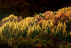 Autumn forest nature. Colourful autumn forest with trees lit by sun in black background Royalty Free Stock Photo
