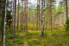 Autumn Forest Nature Den livliga morgonen i färgrik skog med solen rays till och med filialer av träd royaltyfria foton