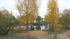 Autumn trees near the river bank. Autumn forest near the river stock video