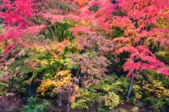 Autumn Forest in in November, Japan. Spectacular autumn colors in a forest on the side of Lake Kawaguchi, one of the scenic five lakes - in the neighbourhood of stock photos