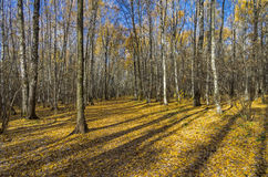 Autumn forest in October. Stock Photo