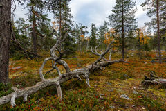 Autumn forest with old cherished tree on foreground, Lapland Royalty Free Stock Photo