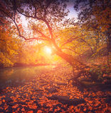 Autumn forest with old mapple trees above the river Stock Photography