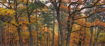 Autumn forest. Orange color woods Royalty Free Stock Image