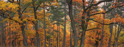 Autumn forest. Orange color woods Royalty Free Stock Photos