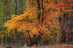 Autumn forest. Orange color woods Royalty Free Stock Images
