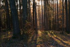 Autumn in the Forest: Orange Leaves, Trees, Light Rays. A Beautiful Autumn Scene in the Forest with Trees, Orange Leaves and Light Rays royalty free stock photography