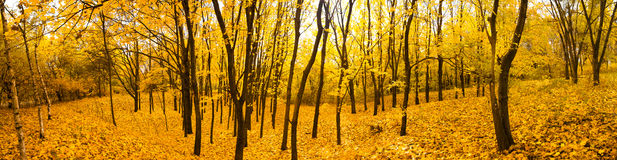 Autumn forest panorama Royalty Free Stock Photo
