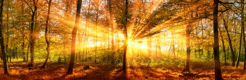Autumn forest panorama with vivid gold sunbeams stock images
