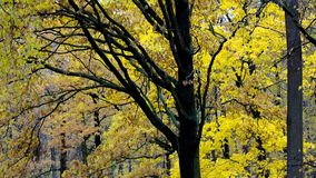 Autumn forest park. Beautifull trees in autumn forest. Vertical panorama view of park in fall stock video