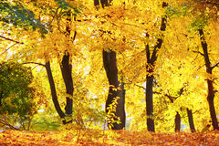 Autumn forest or park Royalty Free Stock Photo