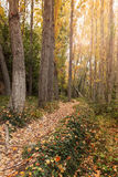 Autumn forest. Path in the autumn forest Royalty Free Stock Photography