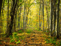 Autumn forest path. Beautiful autumn forest mountain path at sunset Royalty Free Stock Image