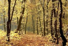 Autumn forest path with early morning sun rays Stock Image
