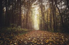 Autumn forest path with fallen leaves. On the way to the fog Royalty Free Stock Image
