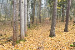 Autumn forest and path at foggy day Stock Photo
