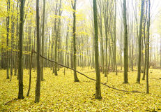 Autumn forest. Royalty Free Stock Photography