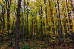 Autumn forest in Pictured Rocks, Munising, MI, USA. With colorful trees Royalty Free Stock Images