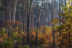 Autumn forest. Pine and deciduous trees with yellow leaves. Selective focus royalty free stock photography