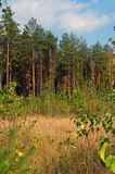 Autumn forest. Autumn pine forest on a warm afternoon Royalty Free Stock Photos
