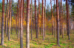 In autumn forest with pines Royalty Free Stock Photos