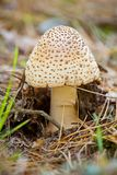 Autumn forest poisonous mushroom Royalty Free Stock Photography